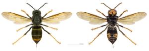 Incontro pratico di Riconoscimento Vespa velutina in apiario